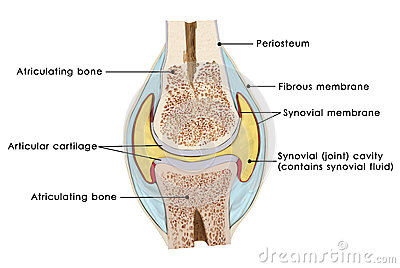 Knee bursae the bursae of the knee are the fluid sacs and synovial pockets that surround and sometimes communicate with the joint cavity ccuart