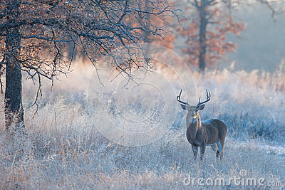 Beautiful fall landscape photograph with whitetail buck