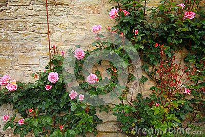 Pink climbing roses on the wall