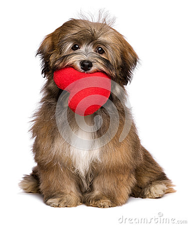 Lover havanese puppy dog is holding a red heart in her mouth