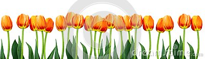 Group of flowers pink tulips on white background