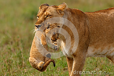 Lioness mother carries her baby