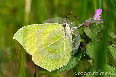 Brimstone butterfly in natural habitat (gonepteryx rhamni)