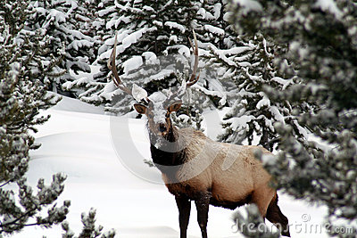 Bull Elk in the winter, Yellowstone Park