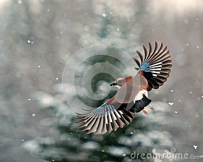 Eurasian jay, Garrulus glandarius flying in falling snow