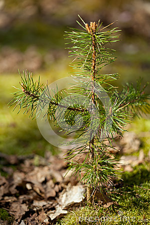 Yoing twig of tree pine in forest