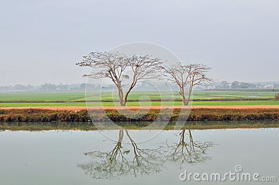 Contract between two trees Tay Ninh Viet Nam