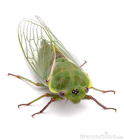 Green Cicada Insect Isolated