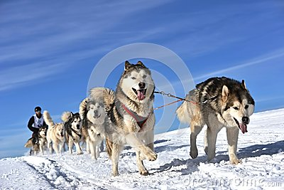 Musher hiding behind sleigh at sled dog race on snow in winter.