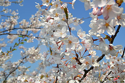 Big branch of blossoming cherry tree