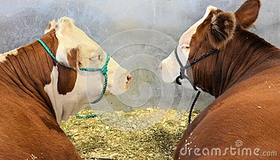 Cattle at Stock Show
