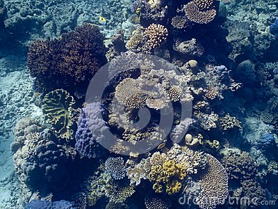 Coral in the Great Barrier Reef in Australia