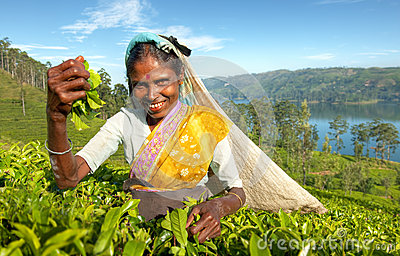 Indigenous Sri Lankan Tea Picker Concept