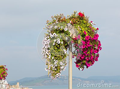 Beautiful display of pink white and red petunias on summer day at the coast