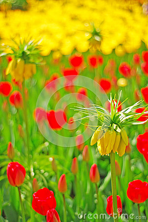 Yellow Crown Imperial Flower in focus with red and yellow tulip in the background