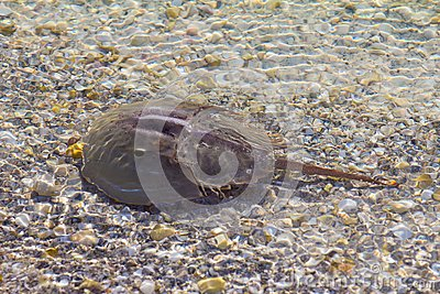 Horseshoe crab in shallow water
