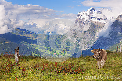 Schreckhorn, Valley Views, and a Swiss Cow in Switzerland