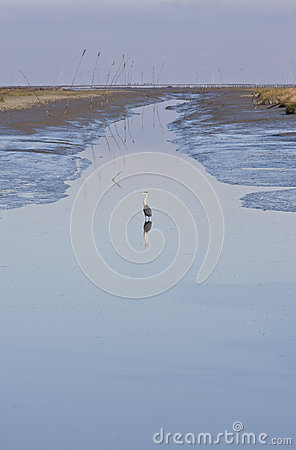 Grey heron in canal (ebb) of Noordpolderzijl, Holland