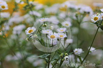 Many white daisies in a green garden