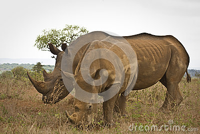 Two wild white rhinoceros eating grass , Kruger National park, South Africa