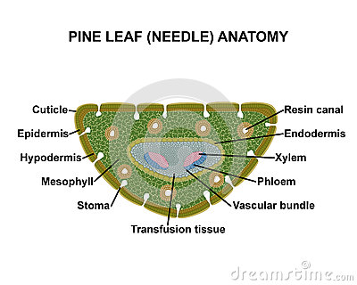 Pine leaf (needle) anatomy