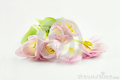 Tulips. pink flowers on a white background