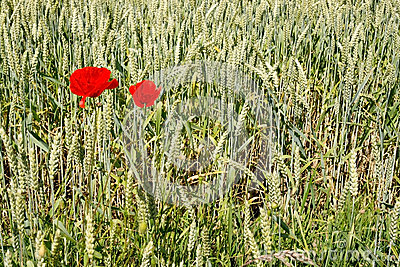 Two red poppies in corn field