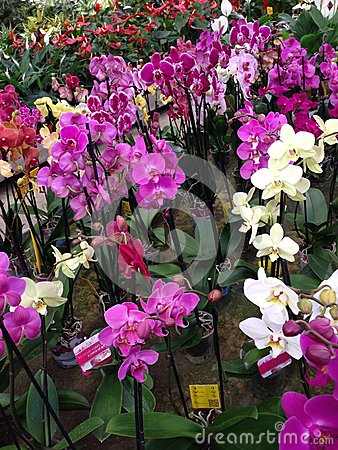 pink orchids in a nursery