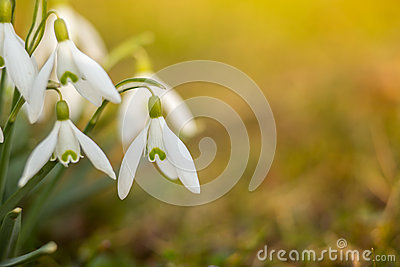 stock image of snowdrops