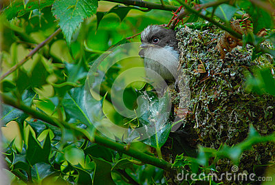 Long Tailed Tit fledgling