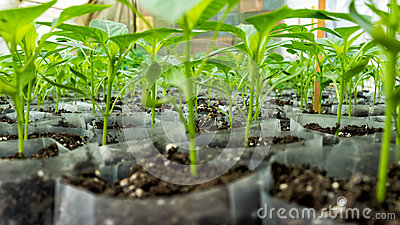 Small pepper plants in a greenhouse for transplanting