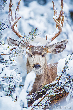Arizona Mule Deer
