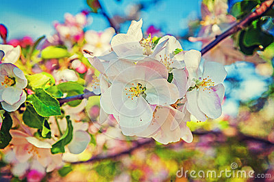 Apple tree blossom floral background inatagram