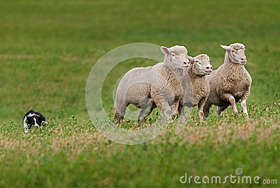 Trio of Sheep Led over Hill by Stock Dog