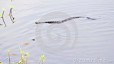 Water moccasin in wetlands, South Florida