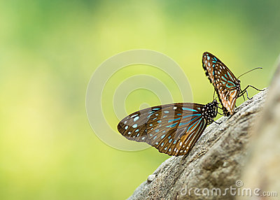 black and blue striped butterfly