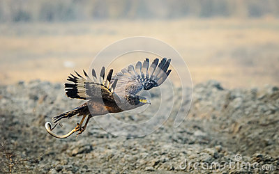 Serpent Eagle flying with kill