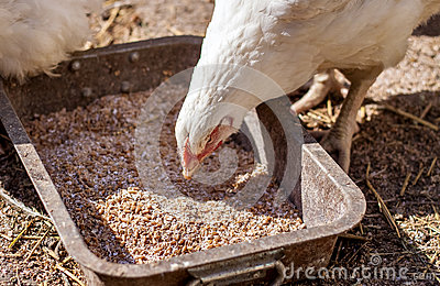 Detail of a white chicken eating grains
