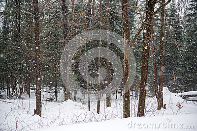 Snowing in a Winter Forest