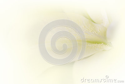 Soft lily flower