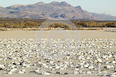 Snow geese on frozen field at the Bosque del Apache National Wildlife Refuge, near San Antonio and Socorro, New Mexico