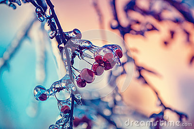Close Up of Frozen Crab Apples on a Tree - Retro