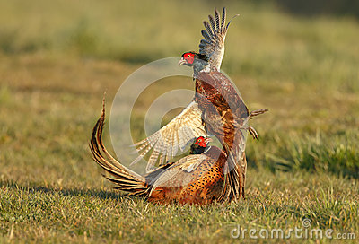 Pheasant fighting