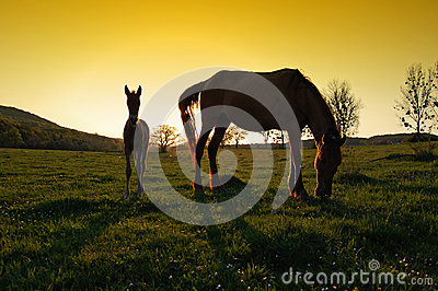 Two horses silhouettes at sunset