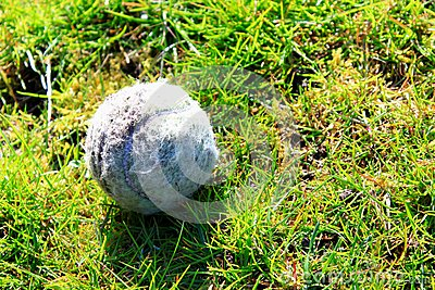 Old tennis ball on green grass