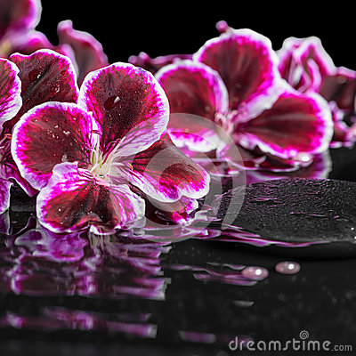 Beautiful spa still life of blooming dark purple geranium flower