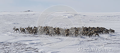 Large herd of reindeer in the winter tundra