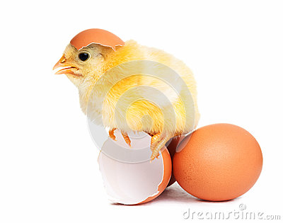 Cute chick with eggs