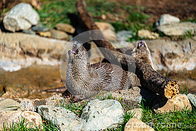 River Otters of North Carolina