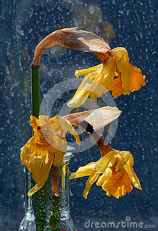 Wilted , dying daffodils in clear glass vase against rain stained window